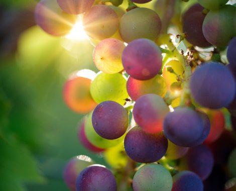 Weintrauben Wachau