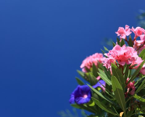 Oleander Wachau